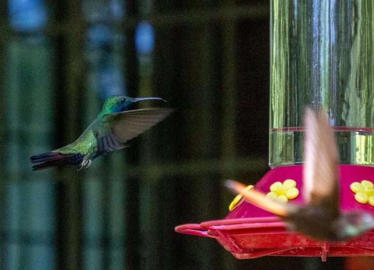 kolibreja