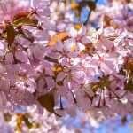 Kirsikankukkia koronakeväänä