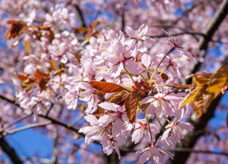 Kirsikkapuita Hietaniemi Kirsikankukkia