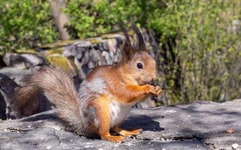 Orava Hietaniemi
