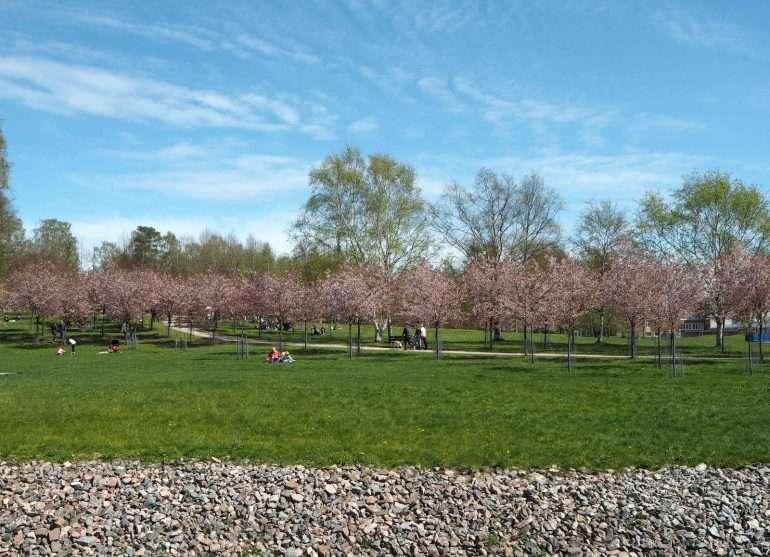 Roihuvuoren kirsikkapuisto Kirsikankukkia