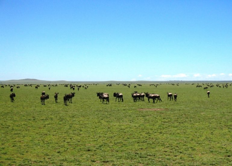 Eläinlaumoja Tansania