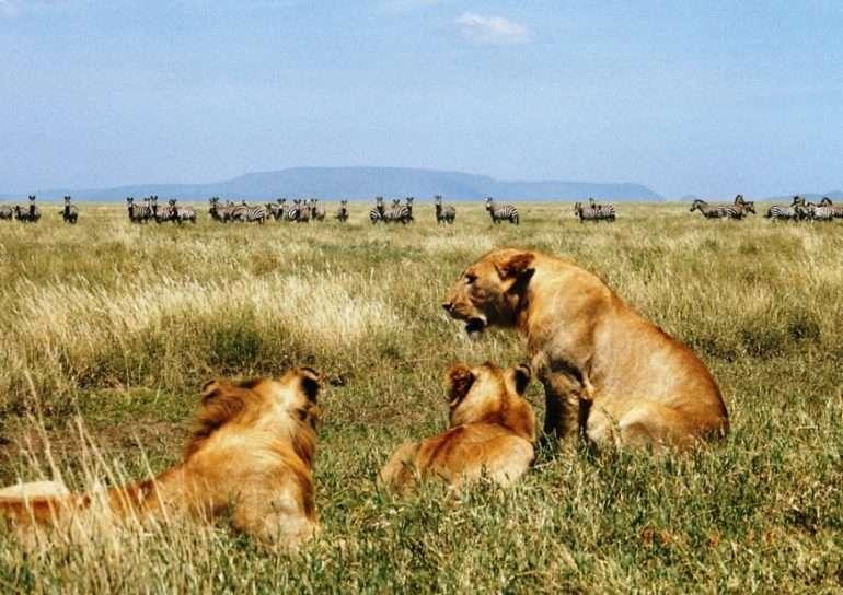 Serengeti leijonat