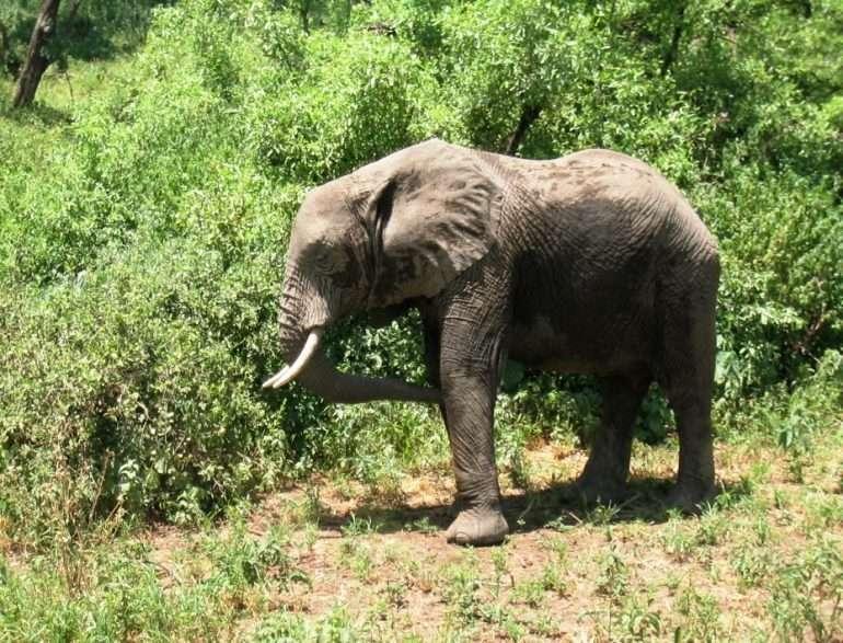 Tarangire norsuja