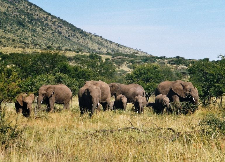 norsuja tansania Serengeti
