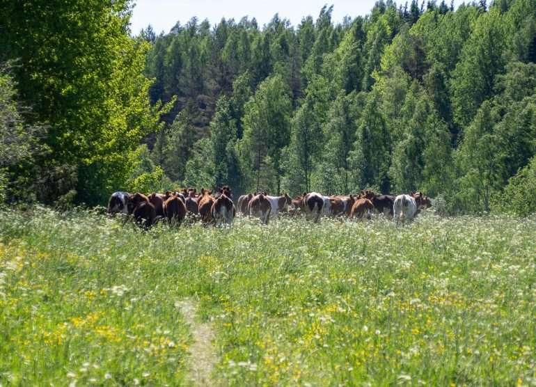 Lehmiä Somero