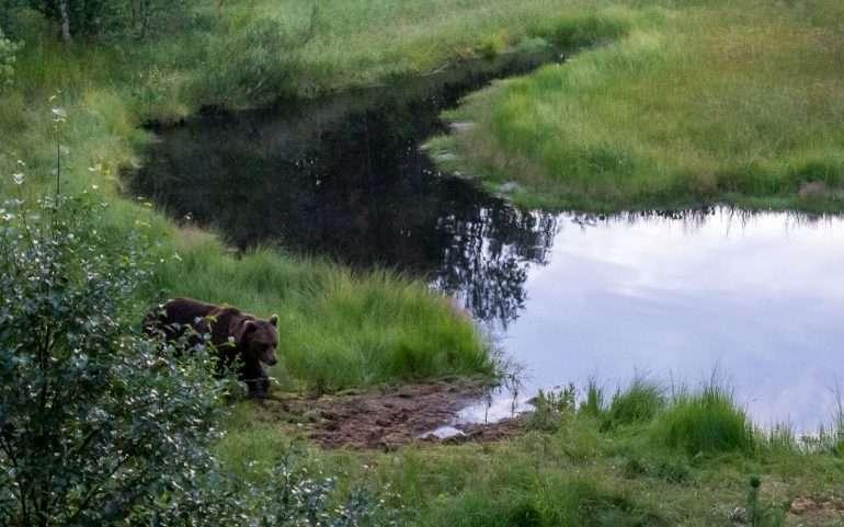Karhuja Suomen luonnossa