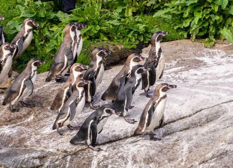 Pingviinit Atlanterhavsparken Ålesund