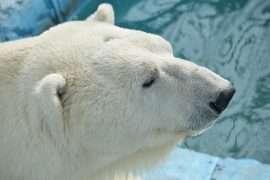 Jääkarhu feature
