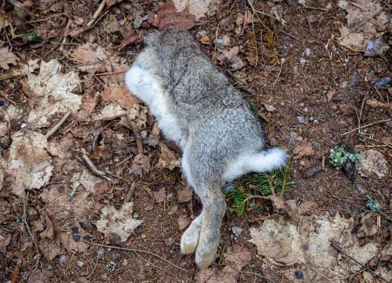 Kuollut kani