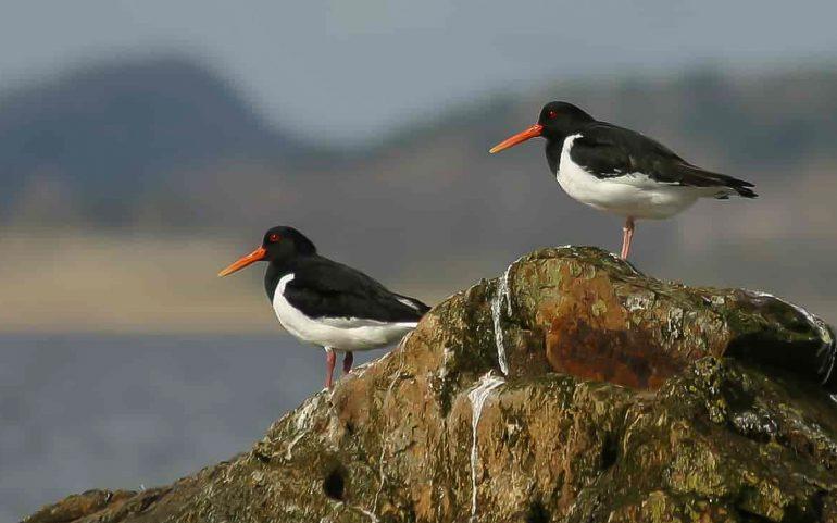 meriharakka Merilintuja ja lintuihmisiä
