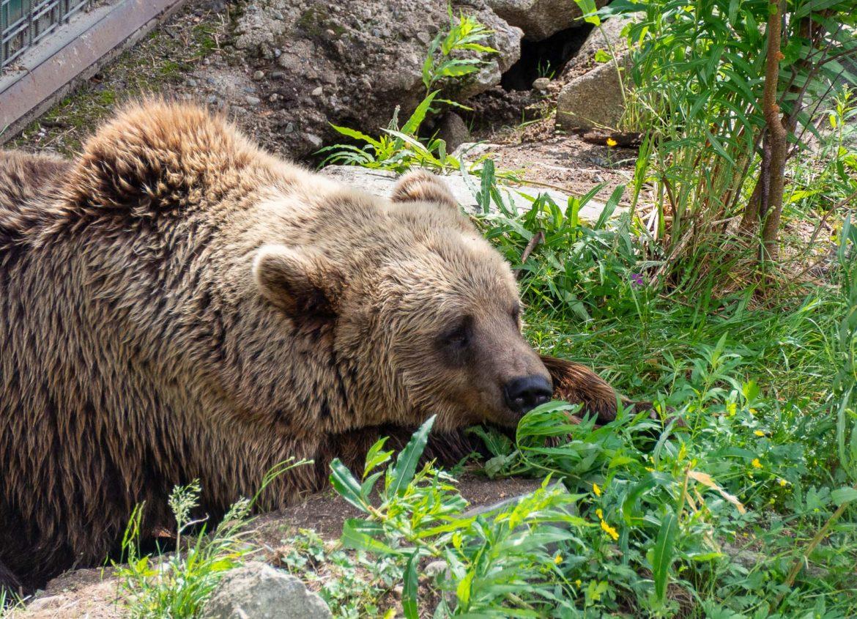 ruskea karhu Ranua Zoo