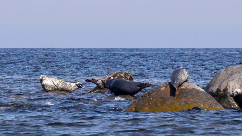Itämeren hylkeitä Kotimaan matkailukesä 2021